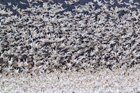Middle Creek WMA Snow Geese and Tundra Swan Migration, plus