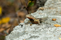 Lava Lizard - male
