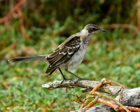 Mocking Bird - one of four species of Mocking bird in the Galapagos.